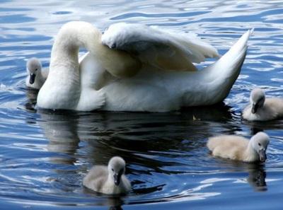 Лебяжьи острова лебеди