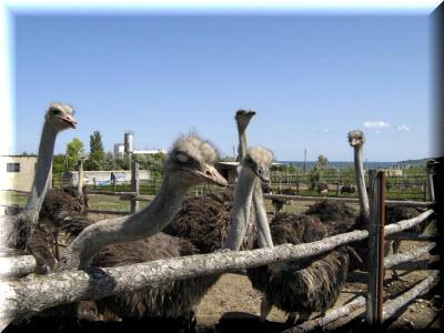 страусиная ферма экзотик в крыму