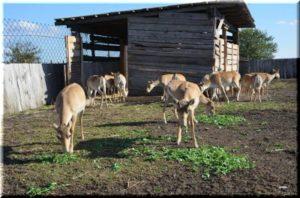 На полуостров Тарханкут завезли популяцию сайгаков