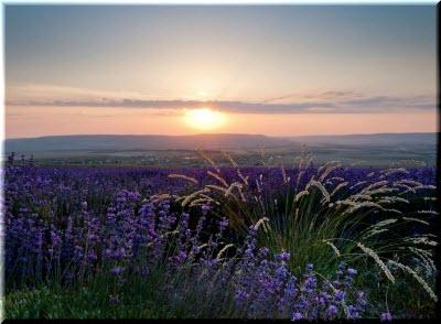 лавандовое поле тургеневка