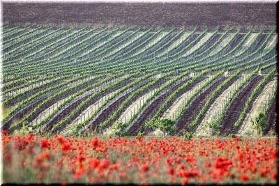 альминская долина виноградники