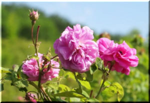 алуштинская роза 2017