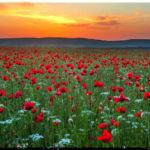 В ярко-красной пелене Крыма: где растут и когда цветут крымские маки