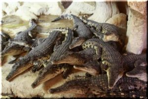 пополнение в ялтинском крокодиляриуме 2017