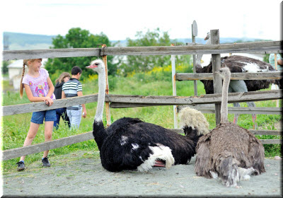денисовская страусиная ферма фото