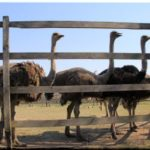 Денисовская страусиная ферма — мини-Африка возле Симферополя