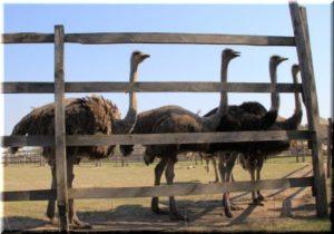 страусиная ферма симферополь денисовка
