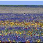 Где растут и когда цветут тюльпановые поля в Крыму