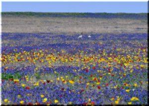 Поля тюльпанов в Крыму