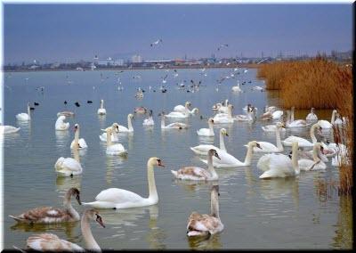 фото лебедей на озере в Евпатории