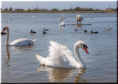 фото лебедя у Евпатории