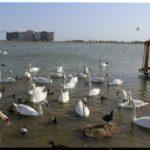 Все об озере с лебедями в Евпатории