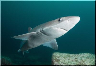 фото акулы-катран