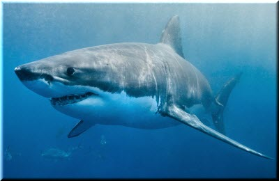 фото белой акулы