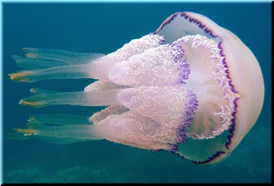 фото медузы-корнерота