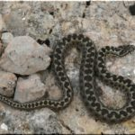 Какие змеи водятся (обитают) в Крыму — виды