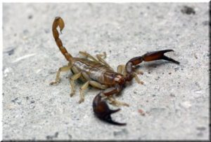 крымский скорпион