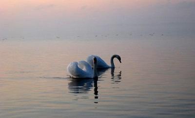 Лебяжьи острова красивые лебеди