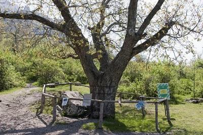 Орех Никулина в Крыму