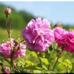 В крымской Алуште состоится третий по счету фестиваль «Алуштинская роза»