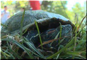 красноухие черепахи пруд симферопольского парка гагарина 2017
