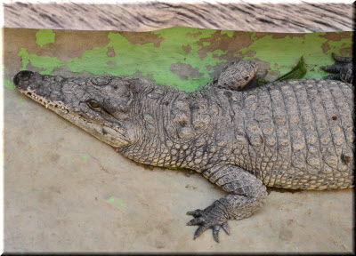 крокодилы в Крокодиляриуме