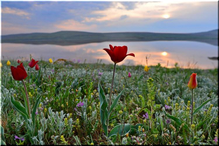 тюльпаны на мысе Опук