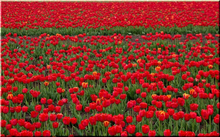 Тюльпаны в селе Янтарное