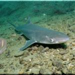 акулы в Черном море