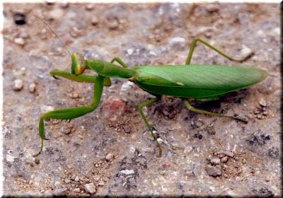 зеленый богомол обыкновенный