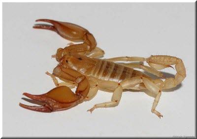 фото крымского скорпиона