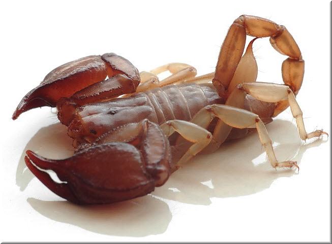 фото скорпиона в Крыму