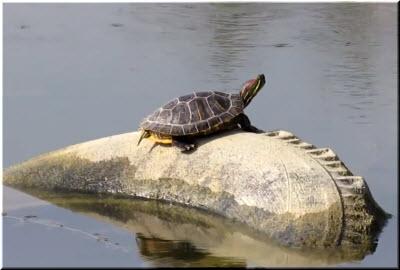 красноухие черепахи в Крыму
