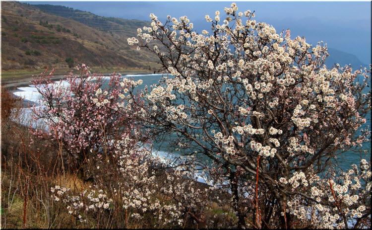 как цветет миндаль на ЮБК