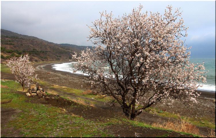 миндальные деревья в Крыму
