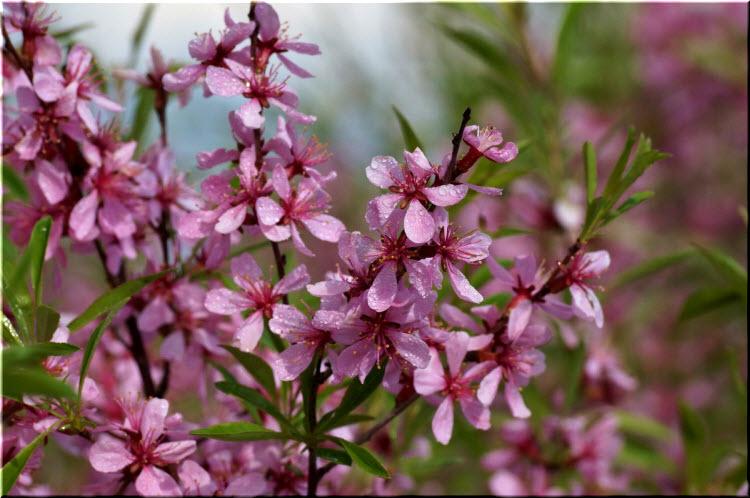 цветение дикого миндаля
