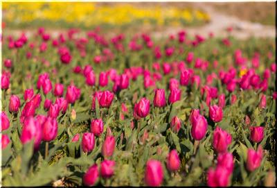 фото с Парада тюльпанов в Никитском саду
