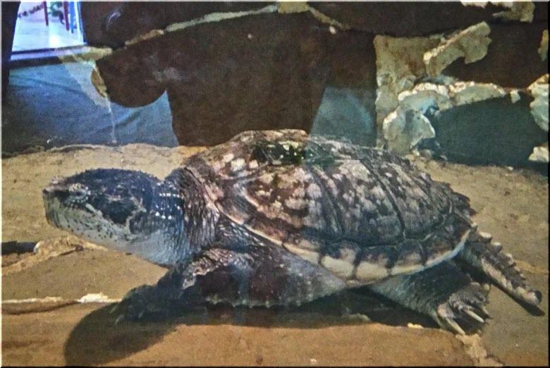 черепахи в Феодосии