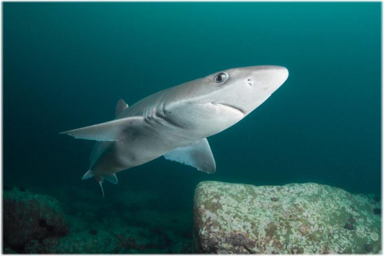 акула Катран в Азовском море
