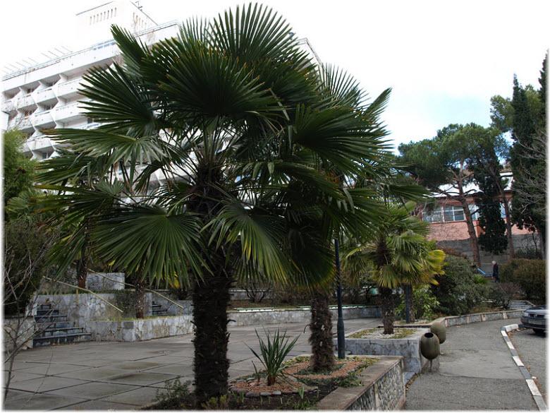 пальмы в Алуште