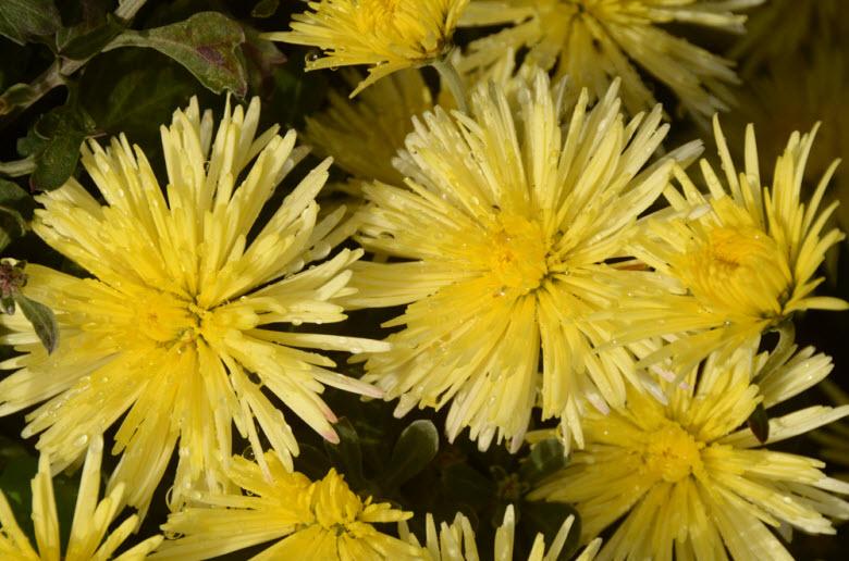 фото хризантем в ботаническом саду