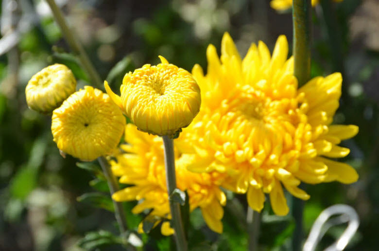 Хризантемы в Никитском саду