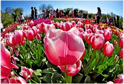 фото с Парада тюльпанов