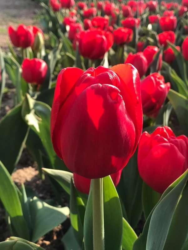 В Крыму стартовал «Фестиваль тюльпанов – 2020»