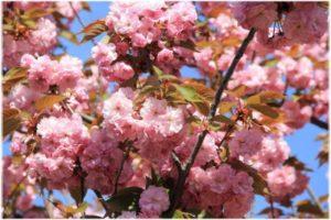 цветение сакуры в Крыму