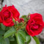 розы в Никитском ботаническом саду