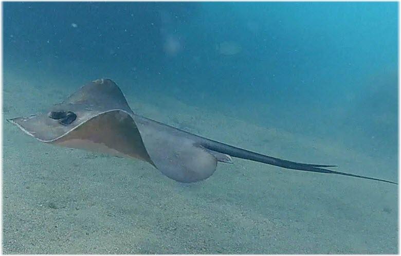 плывущий скат-хвостокол