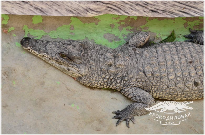 фото крокодилов