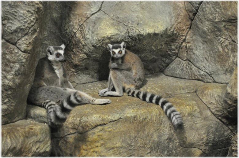 фото лемуров в зоопарке