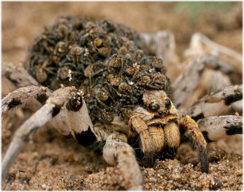 Тарантул с паучатами